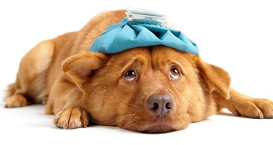 sick dog, canine influenza virus